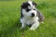 Сибирские хаски щенки с VDH / FCI работ!