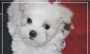 Красивые Мальтийский щенки ищут дом!